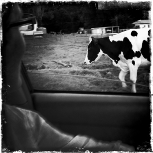 Cow from my car window