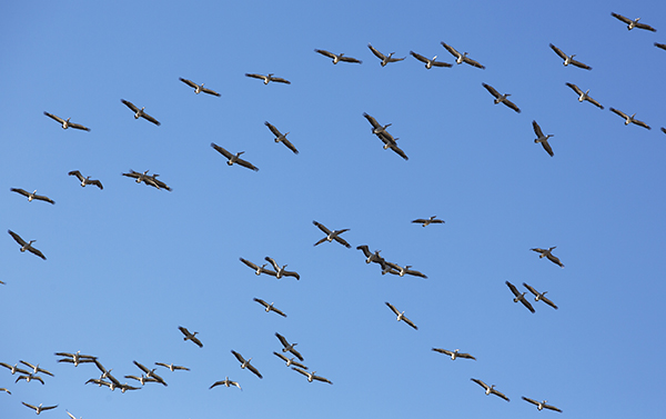 """Pelicans"" Cubbie Station 2013. photo copyright: Russell Shakespeare"