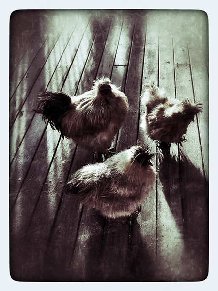 """Chooks"" photo copyright: Russell Shakespeare"