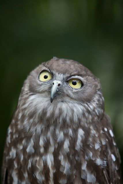 """Barking Owl""  photo copyright : Russell Shakespeare"