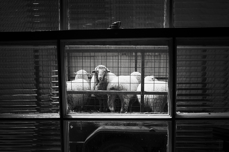 """Sheep from my Hotel window, Window, Winton, Qld"" photo copyright : Russell Shakespeare"