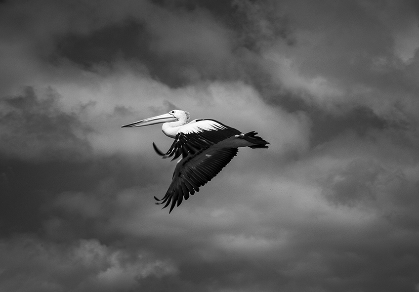 """Pelican"" photo copyright : Russell Shakespeare"