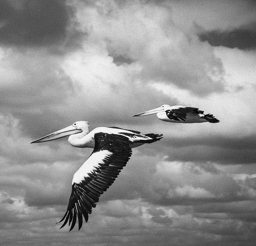 """Pelicans"" Queensland, Australia. photo copyright : Russell Shakespeare"