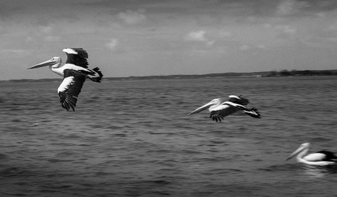 """Pelicans"" photo copyright : Russell Shakespeare"