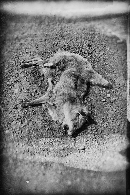 Road Kill, Dalby. photo copyright : Russell Shakespeare