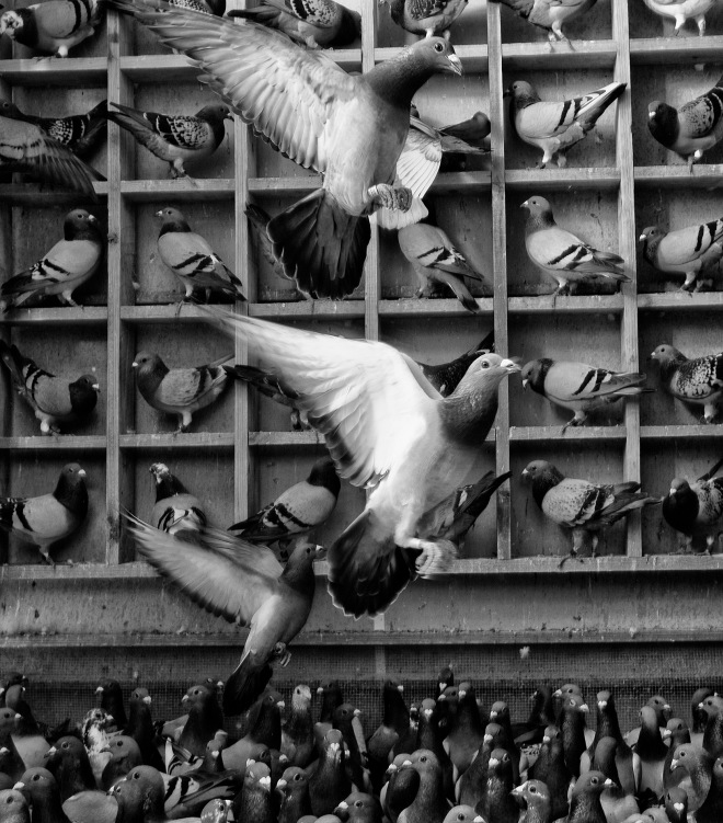 """Pigeons"" photo : Russell Shakespeare"