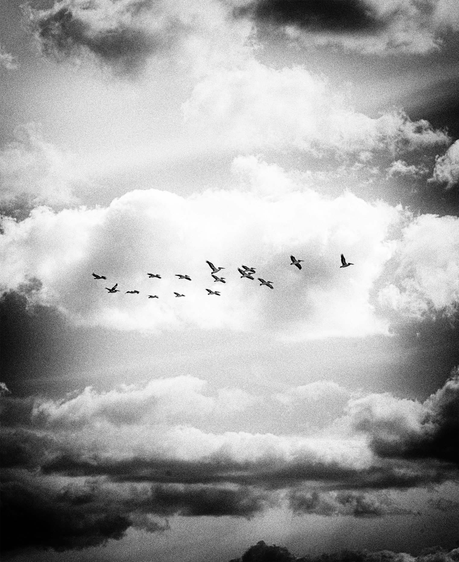 """Pelicans"" copyright : Russell Shakespeare"